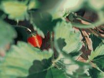 Kleine aardbeien royalty-vrije stock afbeelding