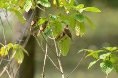 Kleine acaciavogel royalty-vrije stock afbeelding