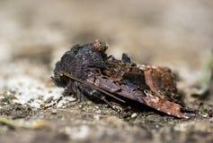 Kleine Achateulemotte (Euplexia-lucipara) im Profil Stockbild