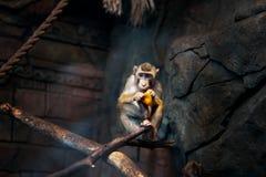 Kleine Affe-Krabbe Stockfotos