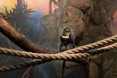 Kleine Affe-Krabbe Lizenzfreie Stockfotos