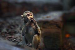 Kleine Affe-Krabbe Lizenzfreie Stockfotografie