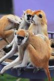 Kleine Affen Stockbilder