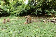 Kleine Affen, die auf Gras sitzen und Kokosnuss essen Lizenzfreie Stockbilder