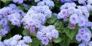Kleine ageratum van fluweelbloemen royalty-vrije stock foto