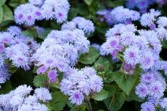 Kleine ageratum van fluweelbloemen royalty-vrije stock foto's