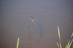 Kleine Alligator Stock Fotografie
