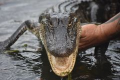 Kleine Alligator met Zijn Mond Open die door een Mens worden gehouden stock fotografie