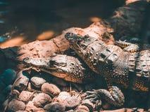 Kleine Alligatoren, die auf einander legen stockfoto