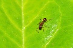 Kleine Ameise auf Blatt Stockfotos