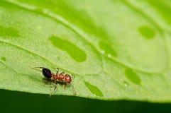 Kleine Ameise der Nahaufnahme sehr (2mm) Stockfoto
