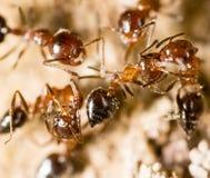 Kleine Ameisen in der Natur Makro lizenzfreie stockfotos