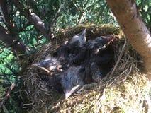 Kleine Amseln in einem Nest!!! Lizenzfreie Stockfotografie