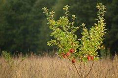 Kleine appelboom Stock Afbeelding