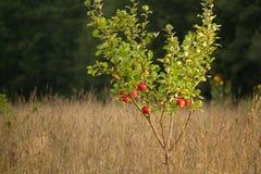 Kleine appelboom Royalty-vrije Stock Afbeeldingen