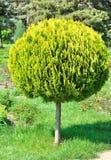 Kleine arborvitae, geschoren ronde boom in de werf. Stock Foto