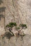 Kleine Bäume auf einem Cliffside Stockbild
