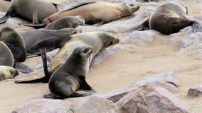Kleine baby van Bruine bontverbinding, zeeleeuwen in Namibië stock videobeelden