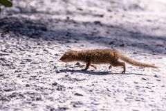 Kleine babymongoes die over grintweg lopen, Groot Eiland, Hawaï royalty-vrije stock fotografie