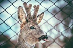 Kleine Babyrotwild, die Zunge zeigen Lizenzfreies Stockbild