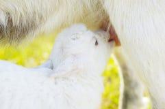 Kleine Babyziege saugt ein Euter Lizenzfreie Stockfotos
