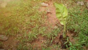 kleine Bananenstaude mit Aufflackern lizenzfreies stockbild