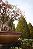 Kleine Baobabbonsais in einem tropischen englischen Garten Lizenzfreies Stockfoto