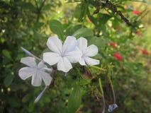 Kleine bellflower royalty-vrije stock afbeelding