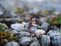Kleine bergbloem Royalty-vrije Stock Foto's