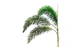 Kleine Betelboom op Wit Geïsoleerde Achtergrond Royalty-vrije Stock Foto's