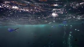 Kleine bevlekte dar Trachinotus-baillonii op het eiland van Roca Partida van Revillagigedo-Archipel stock video