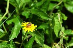 Kleine Biene ähnliche Fliege, die Nektar sammelt und einen gelben Wildflower in Thailand bestäubt lizenzfreie stockfotografie