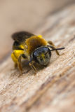 Kleine Biene Stockfoto