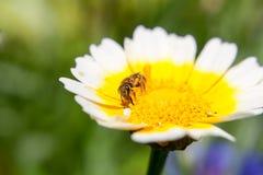 Kleine Biene auf einer flachen Abteilung der netten Blume des Feldes Stockfotos