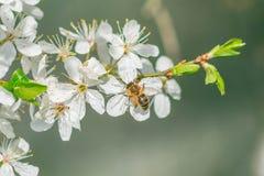 Kleine Biene auf einer weißen Blüte Lizenzfreie Stockbilder