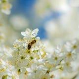 Kleine Biene auf einer weißen Blüte Stockfotografie