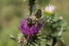 Kleine Biene auf purpurroter Blume lizenzfreie stockbilder