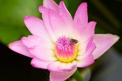 Kleine Biene auf rosa Lotos Stockbild