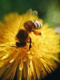 kleine Biene bei der Arbeit lizenzfreie stockbilder