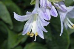 Kleine Biene, die Blütenstaub von der Blume erfasst Lizenzfreies Stockfoto