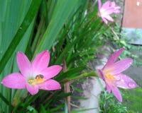 Kleine Bienen auf blühender feenhafter Lilie lizenzfreie stockfotos