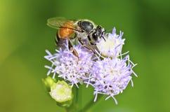 Kleine Bienen, die nach Nektar suchen Stockfotografie
