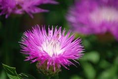 Kleine Bienenfütterung auf wilder Feld-Distel Lizenzfreie Stockfotos