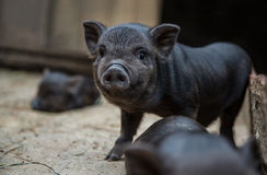 Kleine biggetjes in een varkensstal Royalty-vrije Stock Afbeeldingen
