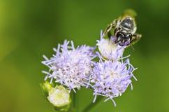 Kleine bijen die nectar zoeken Stock Fotografie