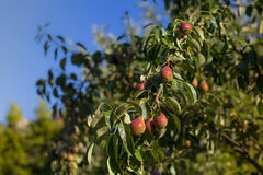 Kleine Birne, die auf dem Baum wächst stockfotos
