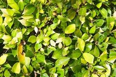 Kleine Blätter des Grüns und des Gelbkleehintergrundes Lizenzfreies Stockfoto