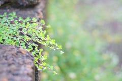 Kleine Blätter, die entlang die Felsen kriechen Stockbild
