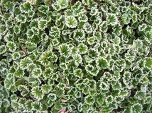 Kleine Blätter mit etwas Frost lizenzfreies stockfoto