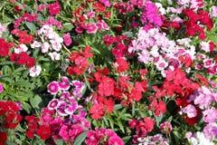 Kleine Blütentraubeblütentraube, luftgetrockneter Ziegelstein rgb stockbild